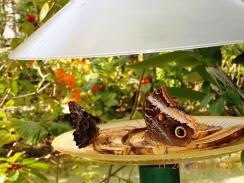 Butterflies Sharing a Meal